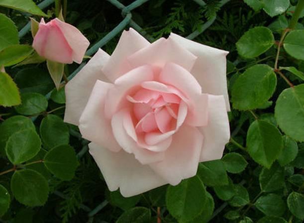 玫瑰花头像