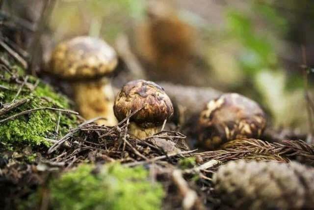 一年只能吃一次,8月的菌中之王松茸,你吃对了吗?