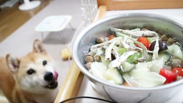 日本柴犬小春 今天小春的午饭是狗粮凉拌蔬菜小鱼沙拉~