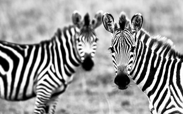 高清斑马图片-野生动物-百图汇素材网