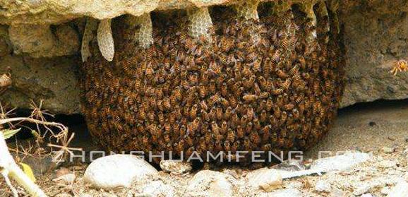教一招诱捕野生蜜蜂的方法_品略