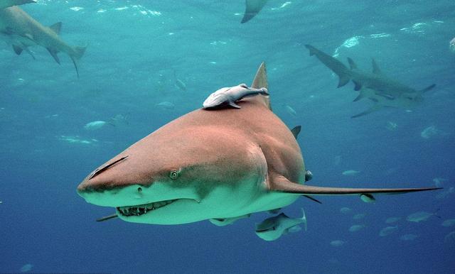 海洋生物:鲨鱼——海上猎手,冷血杀手,海中狼,没有鳔的鱼