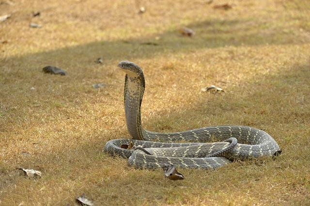 什么蛇最厉害?什么蛇不怕眼镜王蛇?