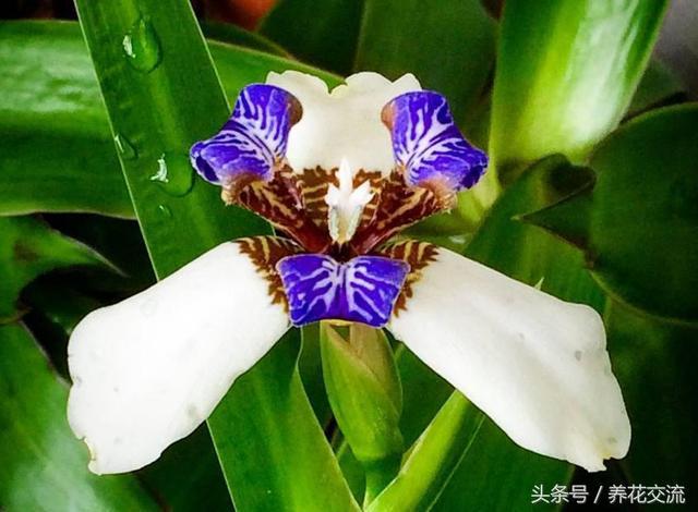 梵高鸢尾花