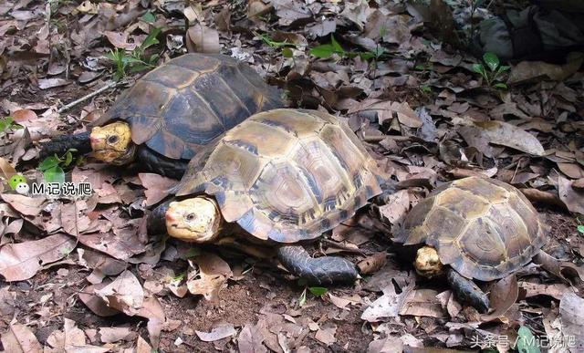 凹甲陆龟,你可能不认识它也不知道它正处于濒危边缘