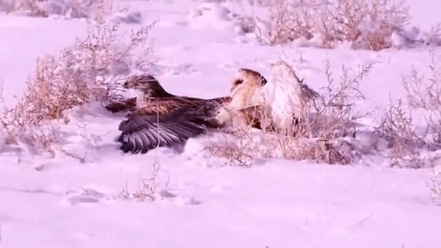 老鹰的天敌是金雕吗