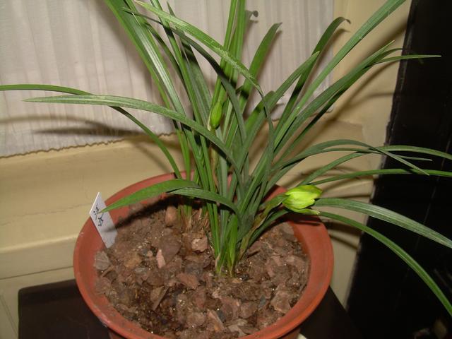 植物图集:美丽的兰花草