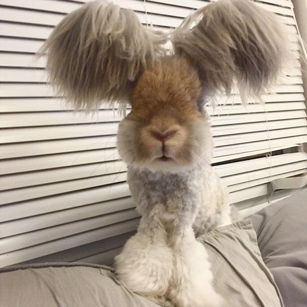 ins上超火的一只安哥拉兔,萌到不行,快来感受一下!