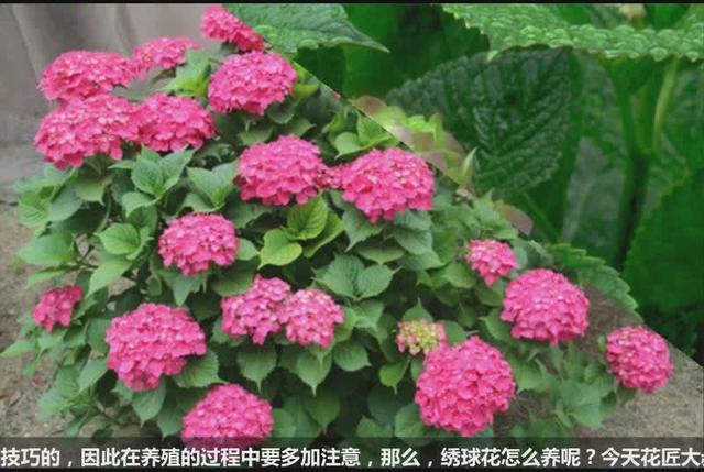 水培绣球花的养殖方法