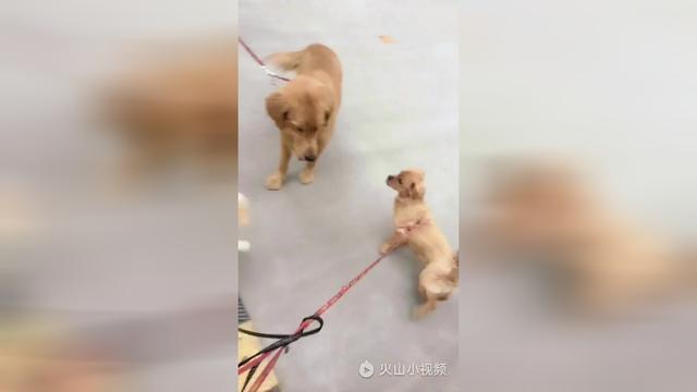 金毛幼犬图片一个月