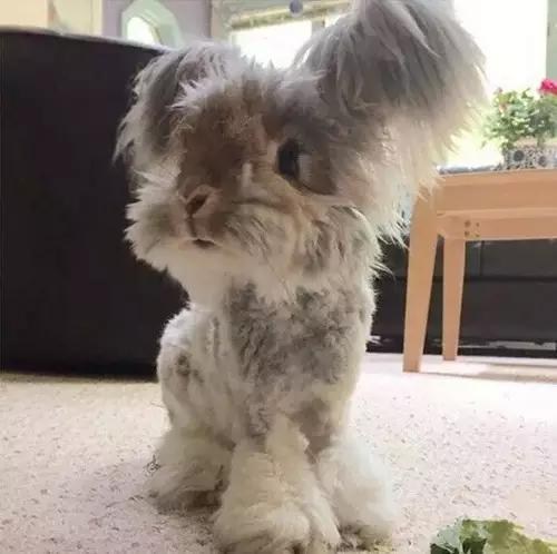 我们俗称的猫猫兔,原名是英国安哥拉兔,TA们是土耳其安哥拉...