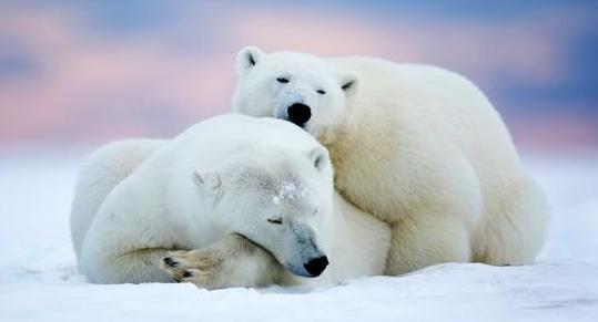 北极熊的毛是什么颜色