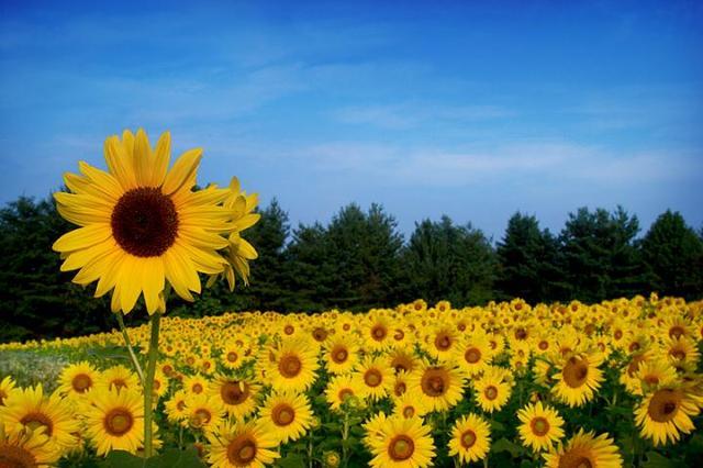 向日葵:阳光底下最明媚的忧伤
