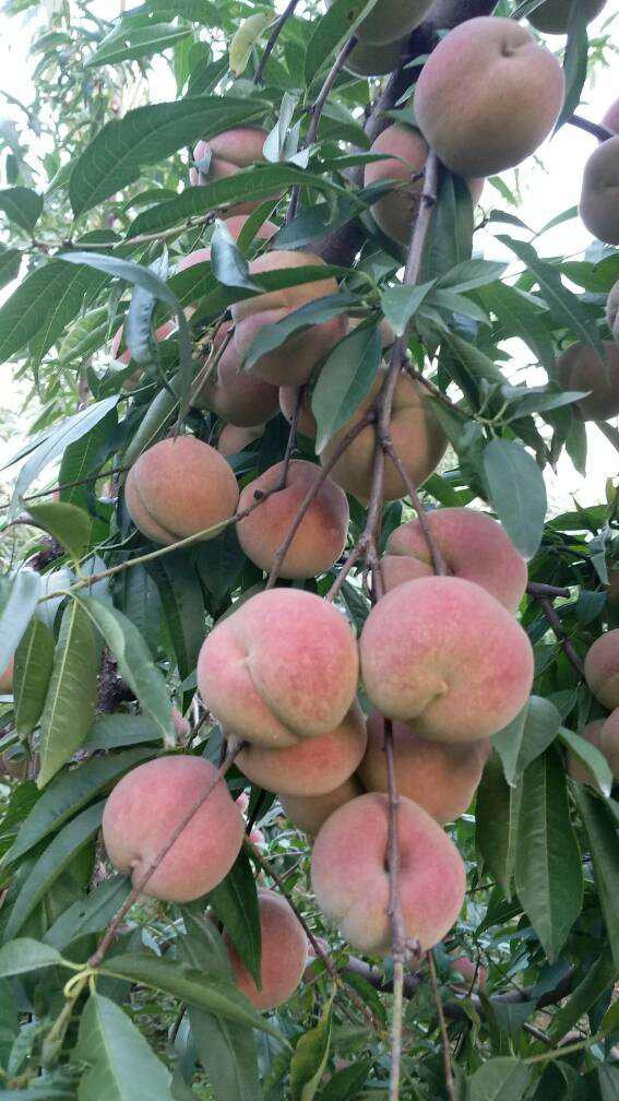 冬桃是什么