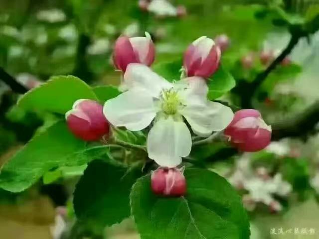 吃不够的糖心苹果——徐州丰县大沙河红富士