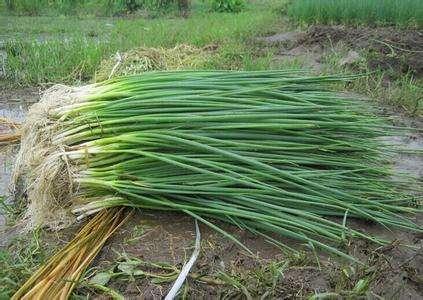 盆栽小葱出芽了,做好这几步,长得又粗又壮,随吃随摘