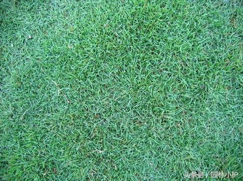 马尼拉草坪如何修复和更新?
