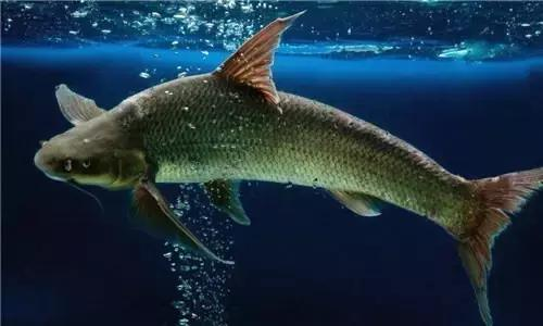 清蒸铜头鱼的做法大全