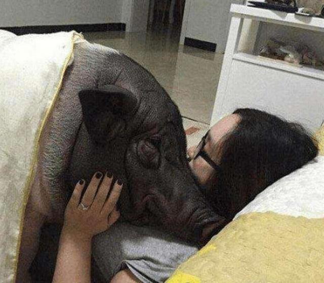 北京一女子对待猪,就像是自己的丈夫!同床5年还玩亲亲