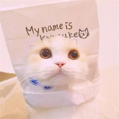 头像控:萌的血槽已空,这么可爱的萌猫还不赶快领养