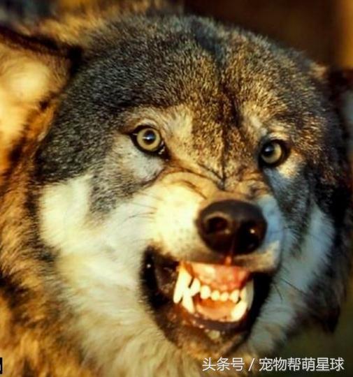 二哈和狼头像