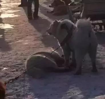 """狗狗拉雪橇,超重负荷活活被累死,有人眼里""""应该的""""!"""