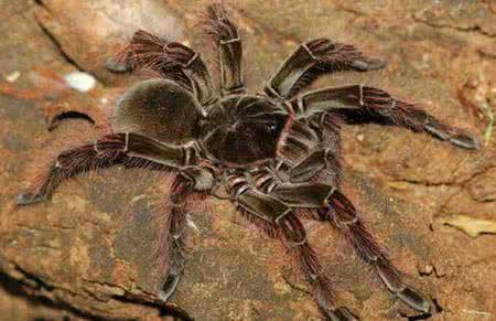 世界最大的蜘蛛