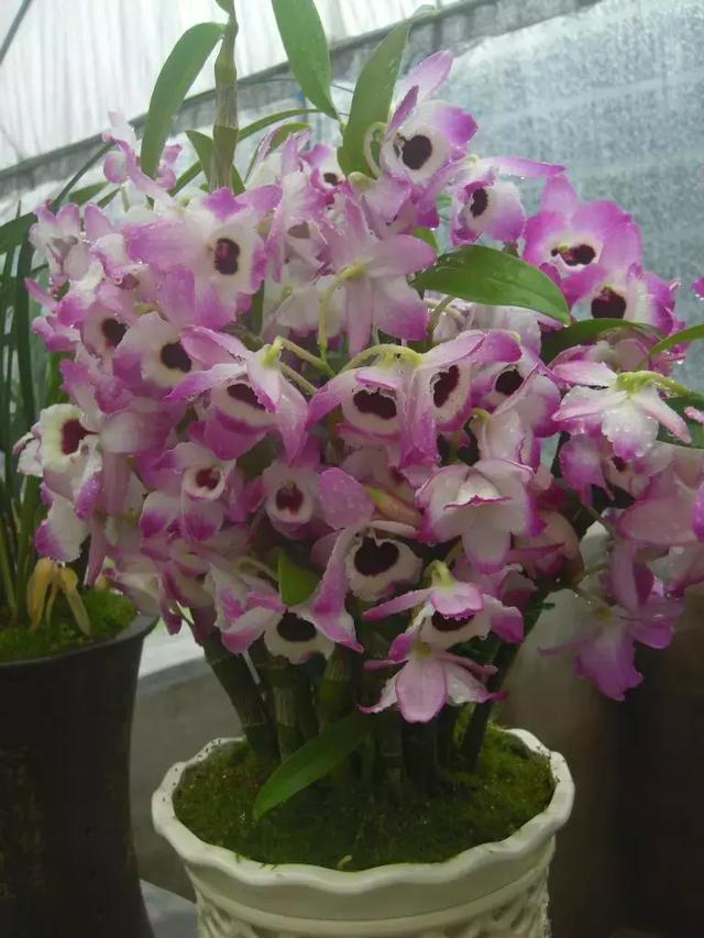 原来石斛花竟然这么美