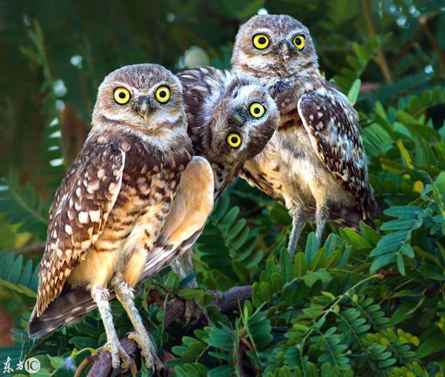 摄影 | 100只威严的猫头鹰,在镜头下会是怎么样的呢?