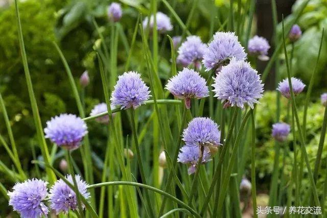 家里也可以盆栽小葱了,方法简单,观赏食用两不误,随吃随剪