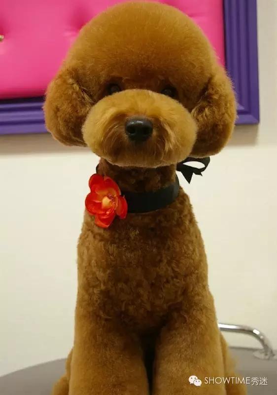 再说泰迪是种狗,你就LOW到外星了!