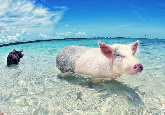 一群可爱的猪图片_家禽家畜_生物世界_图行天下图库