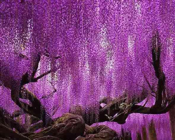 火琉璃树图片大全