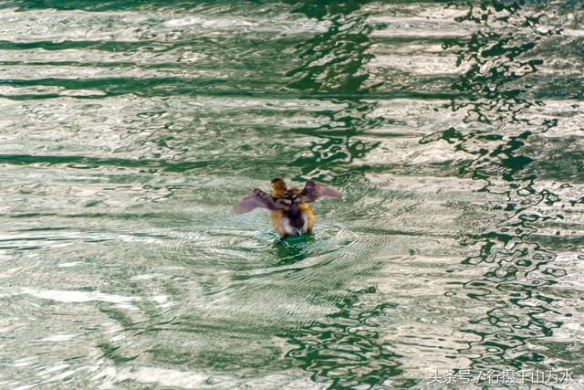 水鸭子摄影图__鸟类_生物世界_摄影图库_昵图网nipic.com