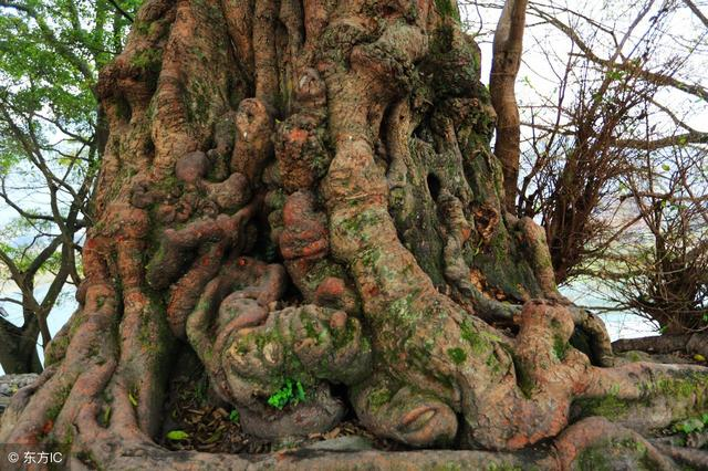 美美榕江古榕树,真实美呀,真实很难一见,三宝侗寨榕树美图组