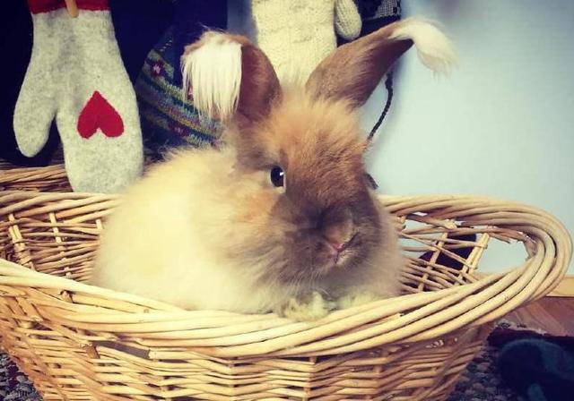 自带忧郁气质的安哥拉兔,这坨毛线球长得太有特色了!