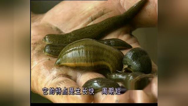 土塘围网养殖水蛭