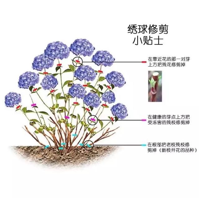 木本绣球图片