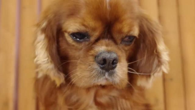 犬种科普丨查理士王小猎犬_手机搜狐网