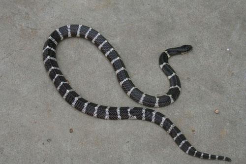 銀環蛇咬傷圖片