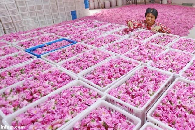 玫瑰花茶图片大全大图