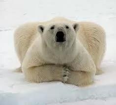 北极熊图片卡通
