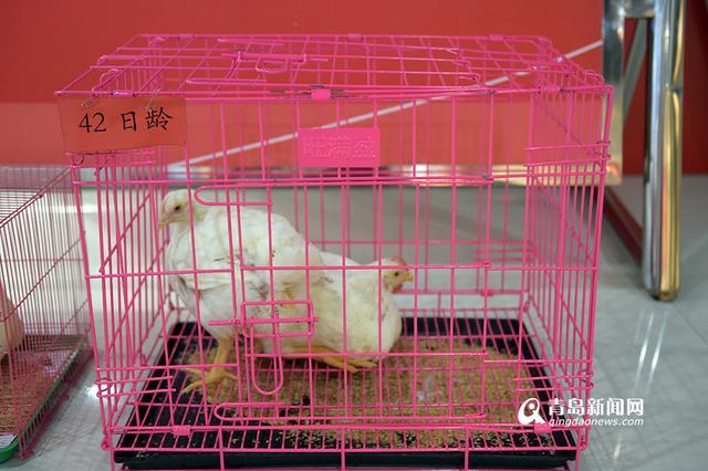 [科技苑]高效养成白羽鸡 高密度养殖一亩地养一万只鸡_371种...