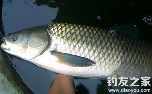 初秋钓草鱼,实用的4大秘诀,大鱼连竿到手酸,钓一次爽一次
