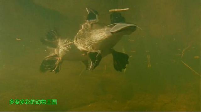 澳大利亚的鸭嘴兽,后肢下隐藏毒刺,性成熟后只有雄性保持毒刺