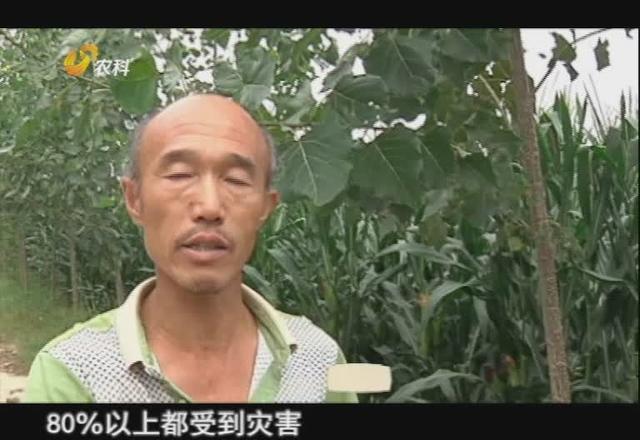 玉米地里蜗牛成灾,专家说,想要消灭它们要在晚上这个时间段