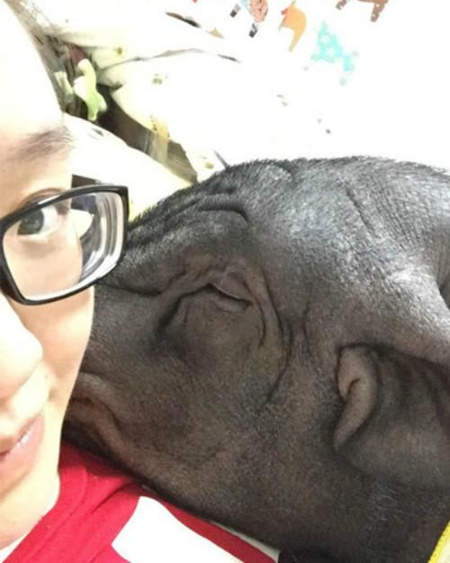 女子与猪同床4年 网友:哪天忍不住五花猪... -中国青年网 触屏版