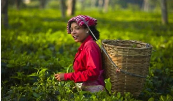 印度与锡兰茶的崛起,成就了英国的茶叶帝国梦