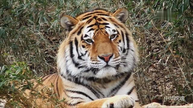 老虎狗的图片_素材公社