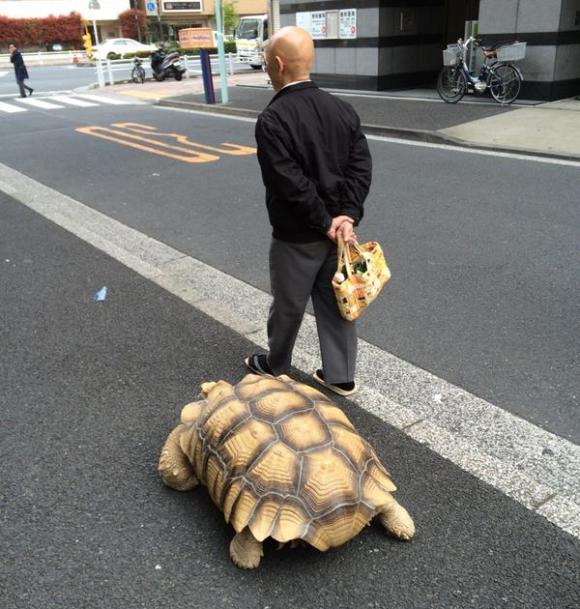 东京老爷爷带着他的乌龟从月岛走到银座,走了2.5公里,很能遛